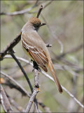 Ash-throated Flycatcher (1 of 2)