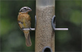 Black-headed Grosbeak, breeding female