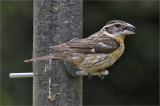 Rose-breasted Grosbeak, breeding female