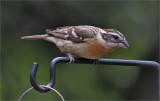 Black-headed Grosbeak, nonbreeding adult female
