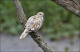 Eurasian Collared-Dove, leucistic plumage