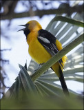 Hooded Oriole, male
