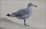 Heermann's Gull, presumed 3rd