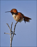 Allen's/Rufous Hummingbird, male (1 of 2)