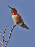 Allen's/Rufous Hummingbird, male  (2 of 2)