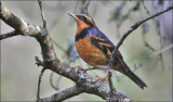 Varied Thrush, male