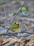 Hooded Warbler, male (3 of 4)
