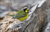 Hooded Warbler, male (4 of 4)
