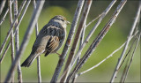 Golden-crowned Sparrow (2 of 2)