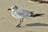 Laughing Gull, 1st cycle (1 of 3)