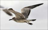 Laughing Gull, 1st cycle (3 of 3)