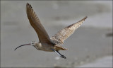 Long-billed Curlew, alternate plumage