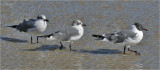 Laughing Gulls, basic adults (left) and prealternate adult