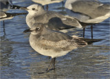 Laughing Gulls, 1st cycle