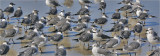 Laughing Gulls,mainly basic adults