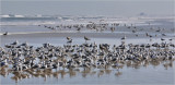 mixed flock, mainly Laughing Gulls