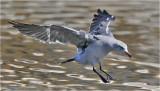 Heermann's Gull, basic adult (1 of 2)