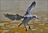 Heermann's Gull, basic adult (2 of 2)