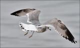 Mew Gull, 2nd cycle