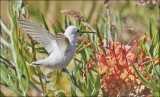 putative Anna's Hummingbird, leucistic morph (6 of 6)
