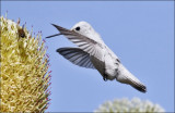 putative Anna's Hummingbird, leucistic morph (3 of 6)