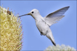 putative Anna's Hummingbird, leucistic morph (4 of 6)
