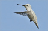 putative Anna's Hummingbird, leucistic morph (5 of 6)