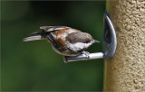 Chestnut-backed Chicadee