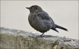 Brewers Blackbird, imm. male