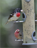 Tose-breasted Grosbeak with House Finch