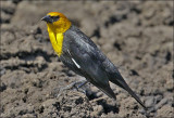 Yellow-headed Blackbird, adult male