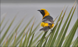 Hooded Oriole, adult male