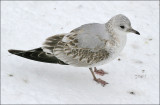 Common Gull  (7 of 8)