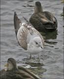 Common Gull (8 of 8)
