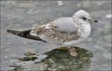 Common Gull  (4 of 8)