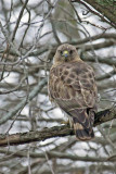 Broad-winged Hawk 2