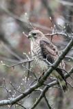 Broad-winged Hawk 3