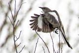 Northern Mockingbird 2