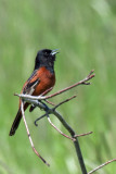 Orchard Oriole 2