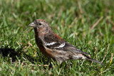 White-winged Crossbill 2
