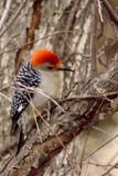 Red-bellied Woodpecker.jpg