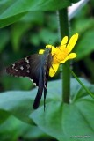 LONG TAILED-SKIPPER