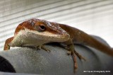 Brown Anole on my porch