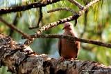 Common ground dove.