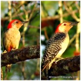 Red-bellied woodpeckers.