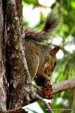 Eating pine nuts