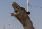 Camel 'portraits' (4)