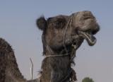 Camel 'portraits' (5)