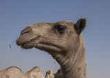 Camel 'portraits' (7)