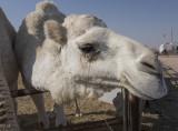 Camel 'portraits' (8)